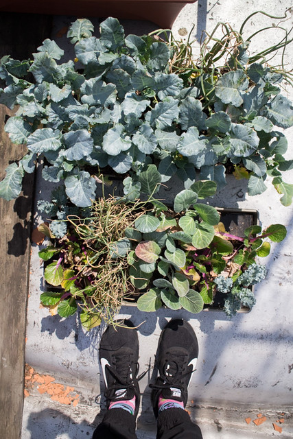 First Planting of the Year 2015 Broccoli