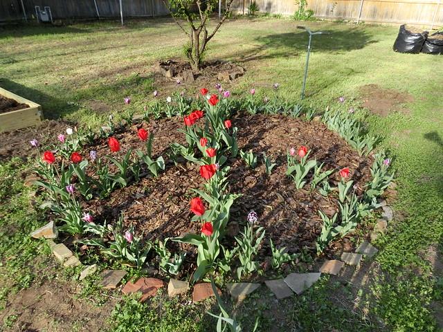 Peace Tulips