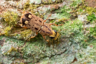 Fungus weevil (Nessiara optica) - DSC_4899