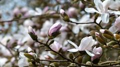 Dans la féerie des Magnolias du Bois des Moutiers