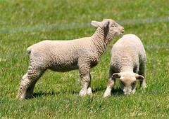 Lambs/Sheep