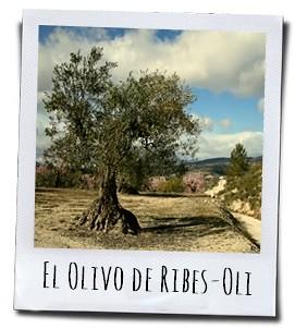 De Arbequina olijfbomen zijn minimaal zeventig jaar oud