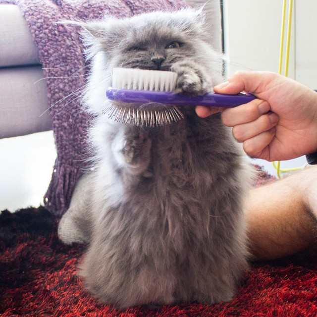 Oh yeah, right there, thats the spot.  #goblin #cats #cat #persiancat #Persian #fluffy #fluffball #kitten #furry #catsofinstagram #greycat #persiancatsofinstagram #meow #petsofinstagram #goblinthecat #follow #catlovers #instacat #ilovemycat #bestmeow #bes