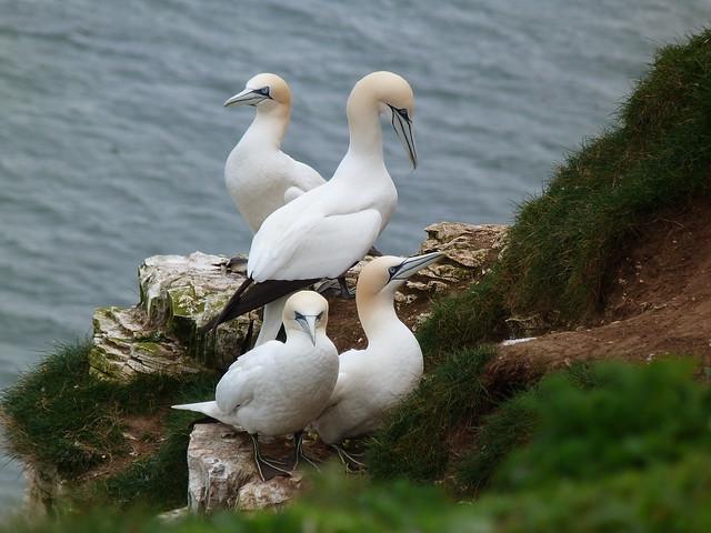Alcatraces atlánticos en Bempton Cliffs (Yorkshire, Inglaterra)