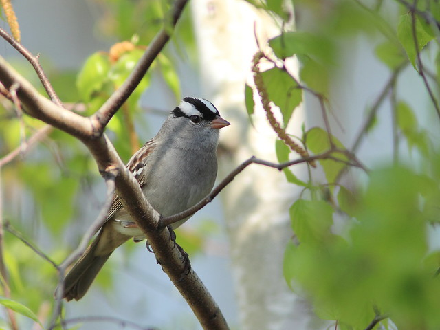 White-crowned Sparrow 3-20160505
