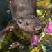 Spot-necked Otter