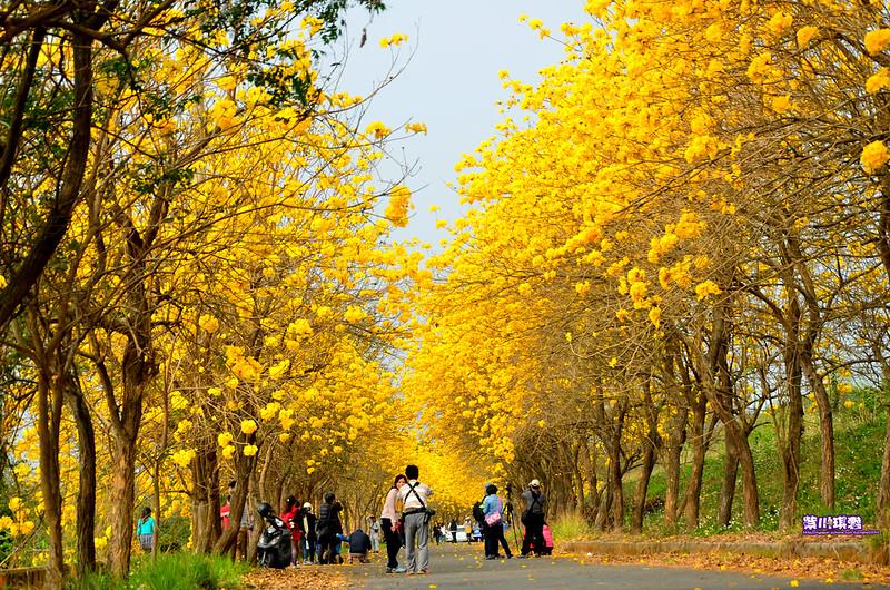【嘉義追花趣】嘉義最美黃金步道。朴子溪黃金風鈴木