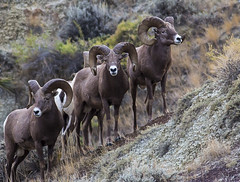 animal(1.0), sheeps(1.0), sheep(1.0), argali(1.0), mammal(1.0), barbary sheep(1.0), herd(1.0), fauna(1.0), bighorn(1.0), wildlife(1.0),