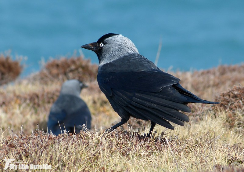 P1110623 - Jackdaw, Land's End