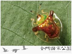 金盾龜金花蟲-01