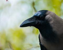perching bird(0.0), yellow(0.0), flightless bird(0.0), jay(0.0), eurasian magpie(0.0), animal(1.0), raven(1.0), nature(1.0), crow(1.0), fauna(1.0), close-up(1.0), american crow(1.0), beak(1.0), bird(1.0), wildlife(1.0),
