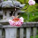 Multi-layered Cherry Blossoms by showamachi