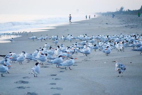 ocean beach sunrise dawn surf florida terns indialantic