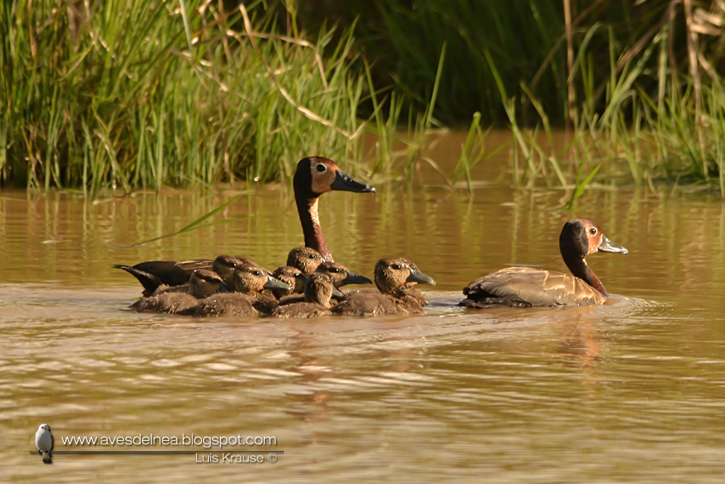 Sirirì pampa (White-faced Whistling-Duck) Dendrocygna viduata