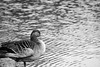 Goose Black n White