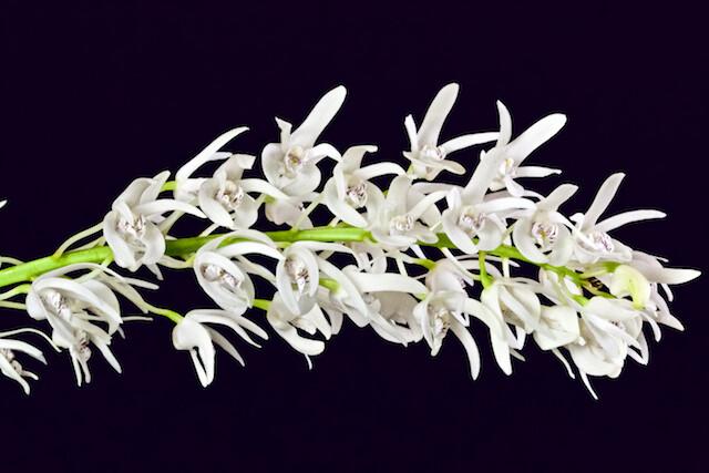 Dendrobium ruppianum 16786214206_477fda7bec_z