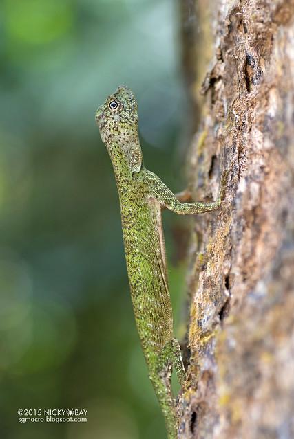 Lizard (Agamidae) - DSC_4085
