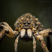 Wolf Spider, Australia by Robert Lang Photography