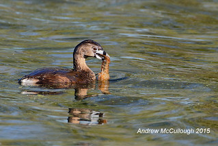 Pied-billed Grebe with a Crawfish