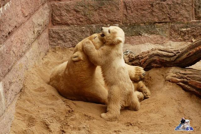 Zoo Rostock Eisbären 28.03.2015  90