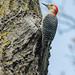 Tree climber... by ragtops2000