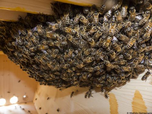 Honingbijen op een tros in een nieuwe kast