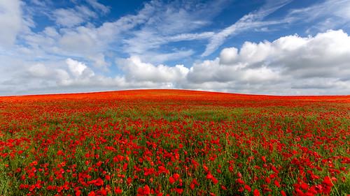 red summer england field landscape poppy poppies hertfordshire summersun hertfordshirelandscape