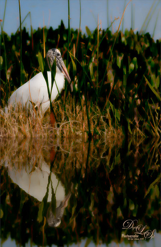 Image of a Wood Stork at the Viera Wetlands
