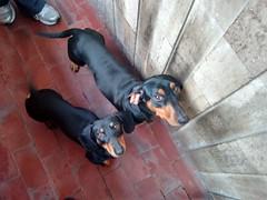 animal(1.0), dog(1.0), pet(1.0), pinscher(1.0), rottweiler(1.0), carnivoran(1.0),