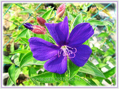 Our Tibouchina urvilleana (Princess Flower, Glory Bush), June 27 2014