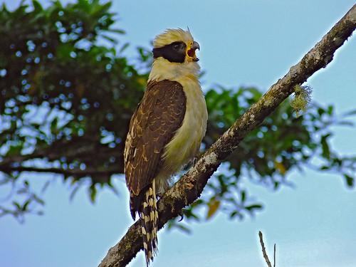 bird nature costarica wildlife falcon birdofprey centralamerica naturephotography falconidae birdphotography wildlifephotography herpetotherescachinnans neotropic neotropicalbird taxonomy:binomial=herpetotherescachinnans