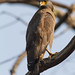 uttampegu posted a photo:	Crested Serpent Eagle in Sitamata Wild Life Sanctuary