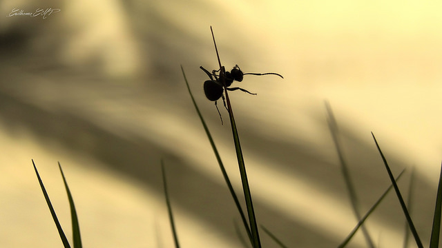 eliminar hormigas acido borico