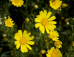 field(0.0), sulfur cosmos(0.0), annual plant(1.0), flower(1.0), yellow(1.0), plant(1.0), marguerite daisy(1.0), nature(1.0), chamaemelum nobile(1.0), tanacetum parthenium(1.0), macro photography(1.0), wildflower(1.0), flora(1.0), oxeye daisy(1.0), meadow(1.0), petal(1.0),