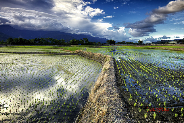 Summer Rice Fields