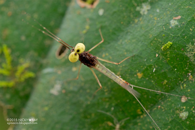 Mayfly (Ephemeroptera) - DSC_4842