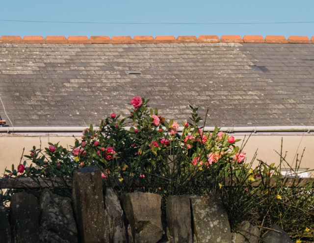 pink roses behind garden wall