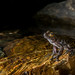 Litoria nannotis, Cairns, Henry Cook -6544 by Henry.Cook