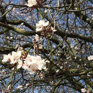 Ah, cherry blossom. It really is spring then.