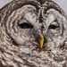 Choueter rayée / Barred Owl