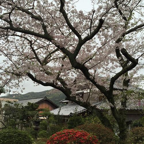 曇りやし、散りだしとるけど庭の桜の写真を撮った。今年はツツジが早い気がする