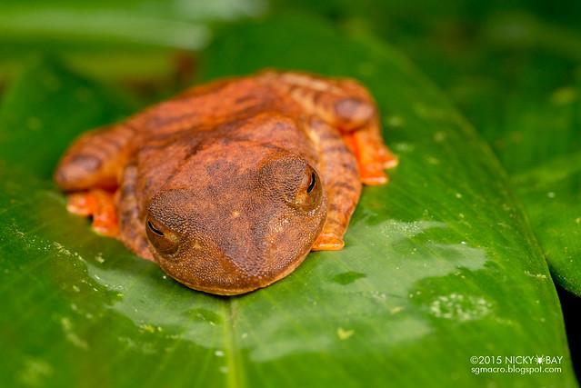 Harlequin flying frog (Rhacophorus pardalis) - DSC_2789