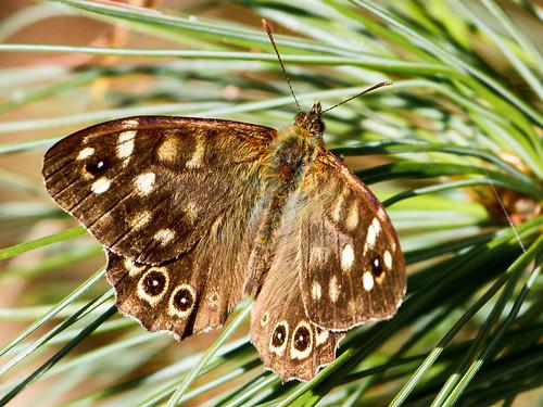 butterfly schmetterling speckledwood parargeaegeria waldbrettspiel spangerholz