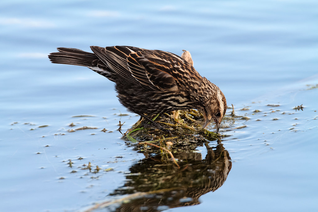 A female red-winged blackbird searches for insects by moving plants and twigs with her beak
