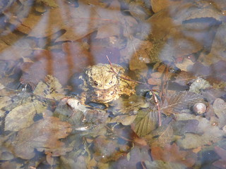 Erdkröte ( bufo bufo )