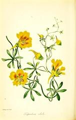 Tropaeolum leptophyllum [as Tropaeolum edule] Perennial vine with large, golden yellow flowers. Native to Chile (1843)
