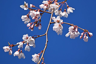 Cherry Blossoms in Blue Sky  : 青空に桜花(枝垂桜)