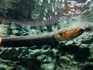 Shinagawa Aquarium: Electric Eel | by Dick Thomas Johnson