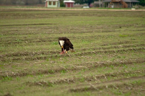 Bald Eagle and His Rabbit Dinner