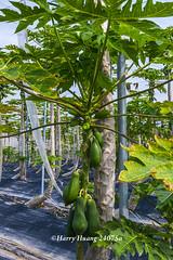 Harry_24075a,木瓜,網室木瓜,木瓜園,水果,…
